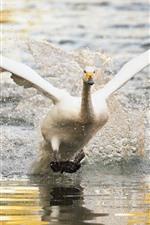 White swan take off, wings, lake, water splash
