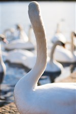 Preview iPhone wallpaper White swans, lake