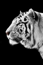 White tiger side view, black background