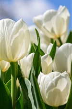 Preview iPhone wallpaper White tulips, bright