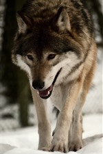Preview iPhone wallpaper Wolf walking, snow, winter