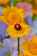 Preview iPhone wallpaper Yellow flowers, ladybug, insect