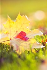 Yellow maple leaf, red love heart, grass