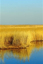 Preview iPhone wallpaper Yellow reeds, swamp, water, autumn