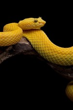 Yellow snake, scales, black background