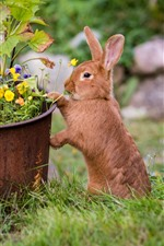 Preview iPhone wallpaper A brown rabbit, flowers, meadow