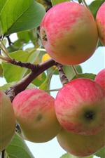 Preview iPhone wallpaper Apple tree, red apples, green leaves