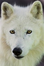 Preview iPhone wallpaper Arctic wolf look back