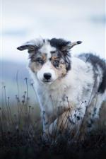 iPhone fondos de pantalla Pastor australiano, cachorro peludo, hierba