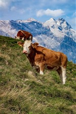 Preview iPhone wallpaper Austria, cows, mountains, grass, slope