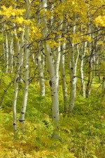 Preview iPhone wallpaper Autumn, birch forest, trees