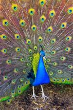 미리보기 iPhone 배경 화면 아름 다운 새, 공작, 꼬리, 깃털