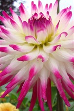 Preview iPhone wallpaper Beautiful dahlia close-up, pink and white petals