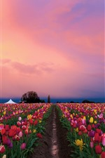 Preview iPhone wallpaper Beautiful tulips fields, colorful flowers, dusk
