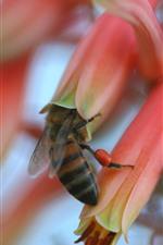 미리보기 iPhone 배경 화면 꿀벌 수집 벌, 핑크 꽃