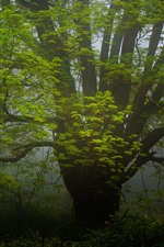 Big tree, green leaves, fog, morning