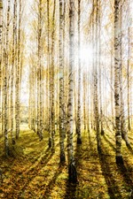 Preview iPhone wallpaper Birch forest, trees, sun rays, glare, autumn