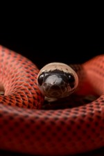 Preview iPhone wallpaper Black-collared Snake, viper