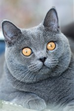 Preview iPhone wallpaper British Shorthair, gray cat, yellow eyes