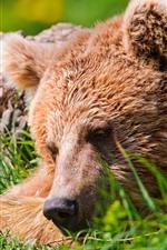 Preview iPhone wallpaper Brown bear, face, rest, grass