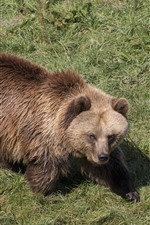 Preview iPhone wallpaper Brown bear, wet, grass