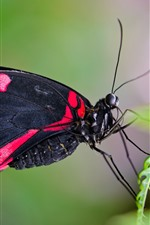 Preview iPhone wallpaper Butterfly, black red wings, green fern