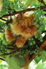 Gato y uvas verdes, hojas.