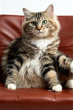 Cat sit on chair, funny animal