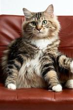 Gato sente-se na cadeira, animal engraçado