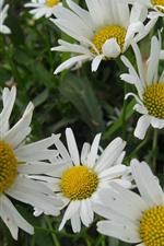 Chamomile, white flowers, spring