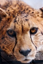 Preview iPhone wallpaper Cheetah, face, front view, wildlife
