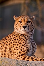 Preview iPhone wallpaper Cheetah look at you, rest, wildlife