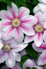 iPhone壁紙のプレビュー クレマチス、白いピンクの花びら、水滴