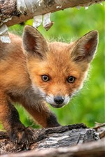 Preview iPhone wallpaper Cute fox cub, trunk