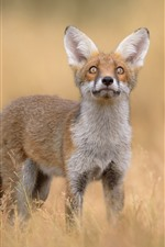 Preview iPhone wallpaper Cute fox, look up, grass, wildlife