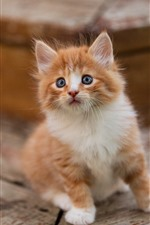 Lindo gatito peludo, mira, brumoso