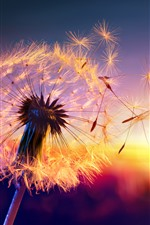 Preview iPhone wallpaper Dandelion, seeds, wind, sunset, beautiful nature landscape