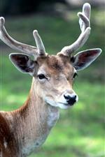 Preview iPhone wallpaper Deer, horns, hazy background