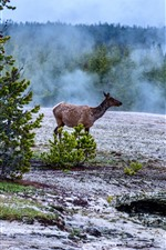 Deer, trees, fog, Yellowstone National Park, USA