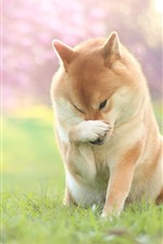 Preview iPhone wallpaper Dog, paw, pose, grass