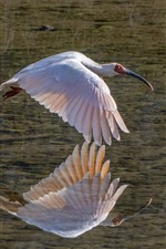 Preview iPhone wallpaper Egret flight, lake, water reflection