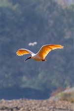 Preview iPhone wallpaper Egret flight, wings