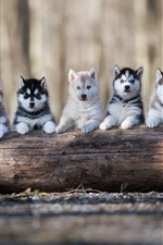 Preview iPhone wallpaper Five husky puppies