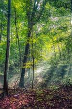 Floresta, árvores, verde, verão