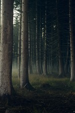 Preview iPhone wallpaper Forest, trunks, fog, morning