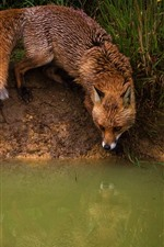 Fox at pond side, water