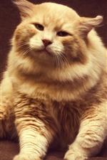 Furry cat, orange, front view