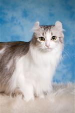 Furry kitten, blue background