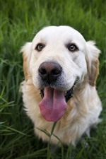 Preview iPhone wallpaper Golden retriever, look, head, grass