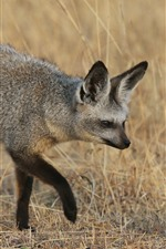 Preview iPhone wallpaper Gray fox walking